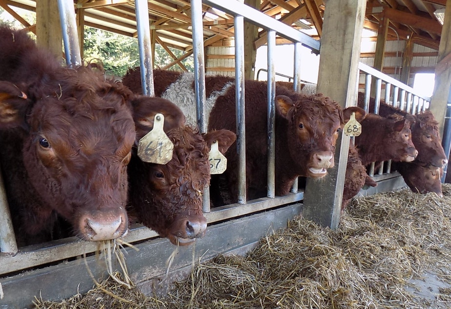 caption: Belted Kingshire cows eat hay at Wild Canary Farm near Duvall, Washington.