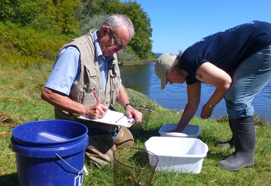 caption: Volunteers Brian Gregory and Victoria Poage count crab in a trap at a site near Seabeck, June 2016