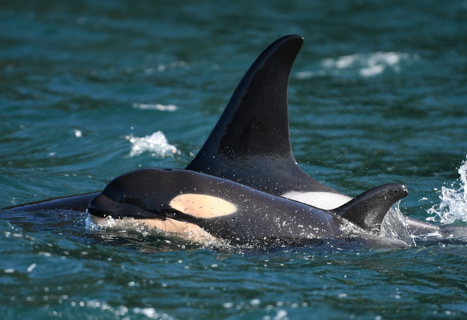 caption: New orca calf L125 swims beside 30-year-old mom L86 off San Juan Island on Feb. 17, 2021. Photo taken under federal research permit.