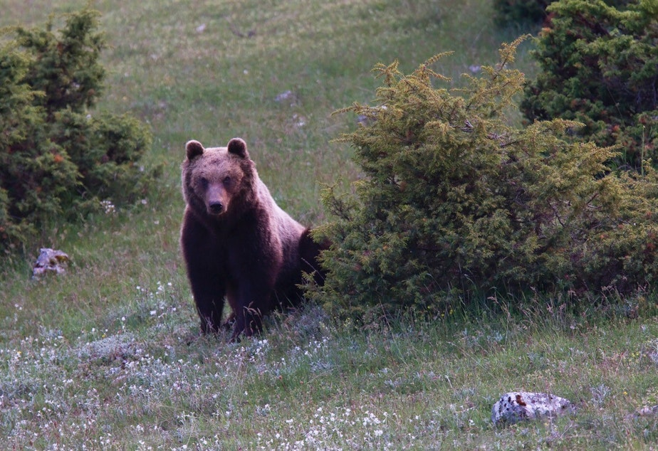 caption: A photograph of a very rare wild Marsican brown bear in the heart of Italy taken by Bruno D'Amicis (who is also featured in this episode). www.brunodamicis.com
