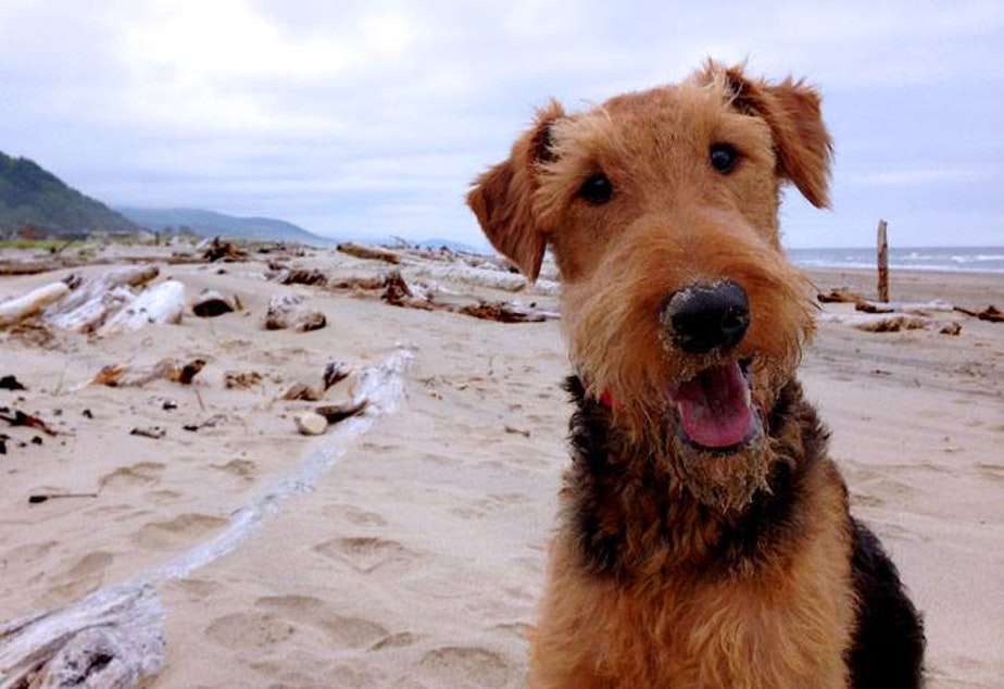 Darwin is an Airedale Terrier from West Seattle. This photo was taken at Rock Away Beach in Oregon. There are 96 other licensed Airedale terriers in Seattle and 22 dogs named Darwin.