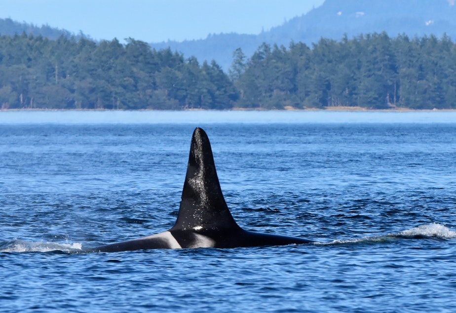 caption: K21, or Cappuccino, as seen in July 2020 during one of his last visits to the Salish Sea.