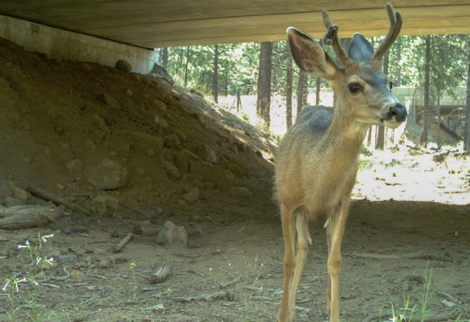 <p>Mule deer uses wildlife crossing.</p>