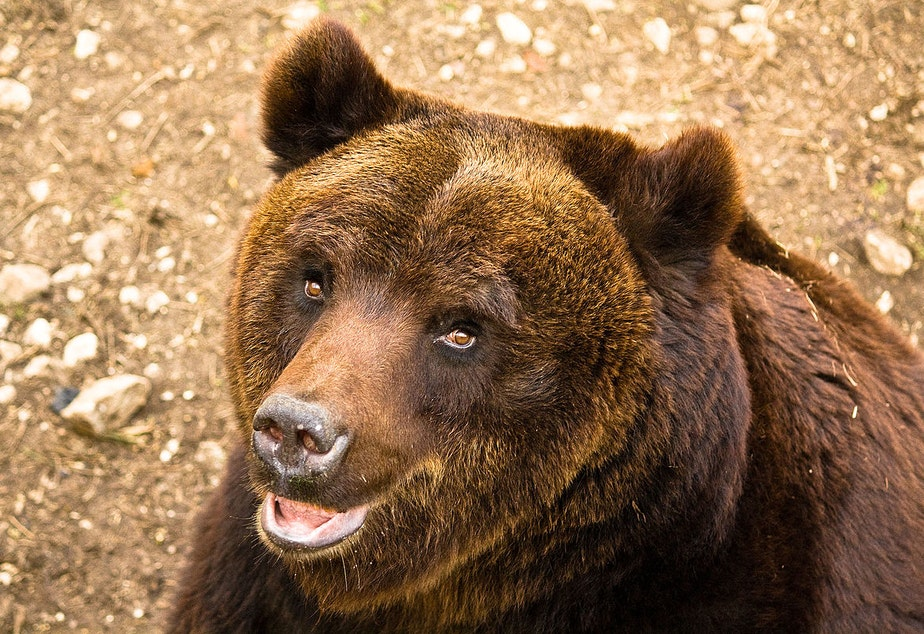 caption: A Marscian brown bear. There are only about 50 of these bears left and they only live in Abruzzo National Park in Italy.