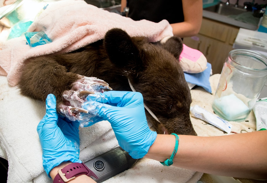 caption: Veterinarians work on the scorched paws of a bear cub burned in the Twenty-Five Mile Fire near Lake Chelan.