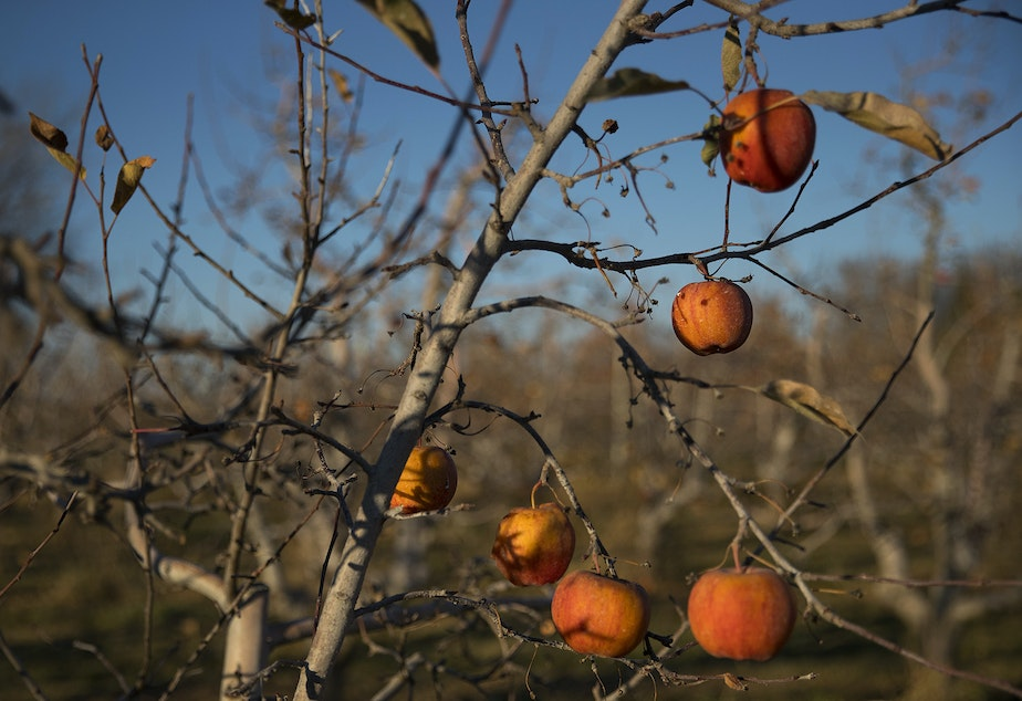 Apples in the organic orchard next to the Perez house are shown on Monday, November 19, 2018, in Quincy. KUOW Photo/Megan Farmer