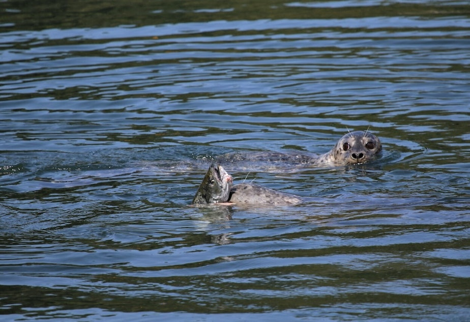 caption: Two seals hunt salmon at the Ballard Locks in August 2020.