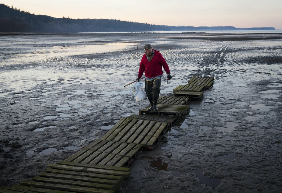 caption: Jamestown S'klallam elder Marlin Holden walks on a boardwalk made of pallets at Littleneck Beach along Sequim Bay.