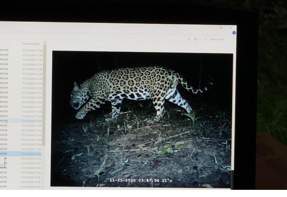 caption: Photo of a jaguar captured on a remote camera in Belize.