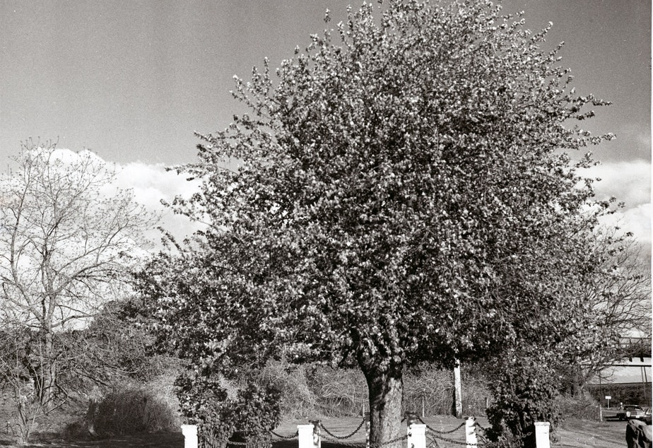 caption: The Old Apple Tree in its glory in 1974, well before a taller fence was built to protect it and a freeway expanded behind it.