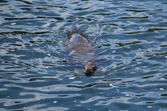 A sea lion swims around the Ballard Locks in 2014.