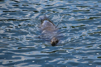 A sea lion swims around the Ballard Locks in 2014.