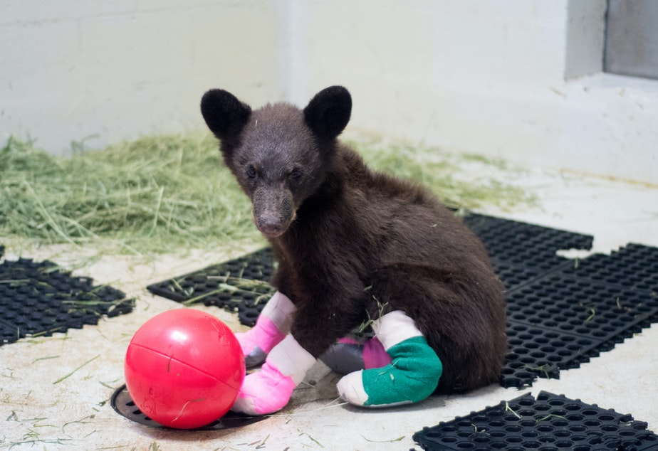 caption: One of two bears burned in the Twenty-Five Mile Fire near Lake Chelan recovers after vets cared for its scorched paws.