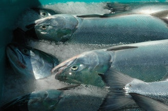 Canada-born Fraser River sockeye salmon caught off Lummi Island in Whatcom County.