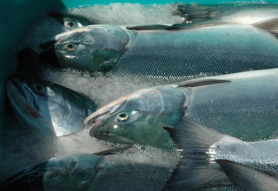 caption: Canada-born Fraser River sockeye salmon caught off Lummi Island in Whatcom County.