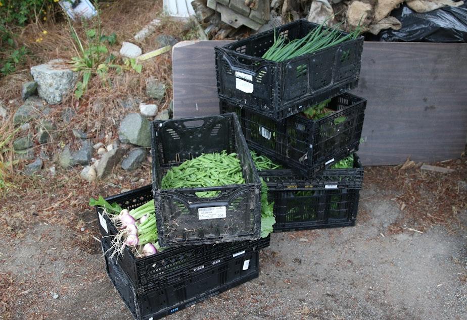 Food grown and harvested for the Ballard Food Bank