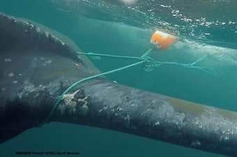 Responders cut Dungeness crab fishing gear off this humpback whale in Monterey Bay in 2016.SCOTT BENSON / NOAA FISHERIES