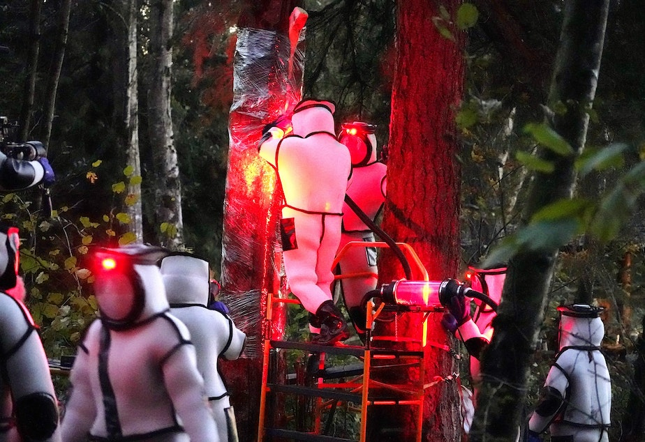 caption: Washington State Department of Agriculture workers, wearing protective suits and working in pre-dawn darkness illuminated with red lamps, vacuum a nest of Asian giant hornets from a tree Saturday, Oct. 24, 2020, in Blaine, Wash.