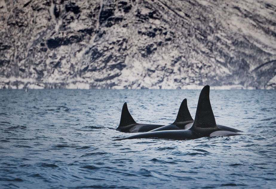 caption: Orca behavior looks completely different when viewed from below the water rather than above.