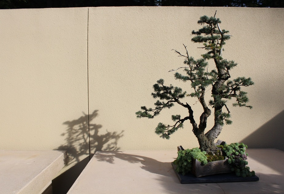 A specimen at the Pacific Bonsai Museum, housed on Weyerhaeuser's former campus in Federal Way