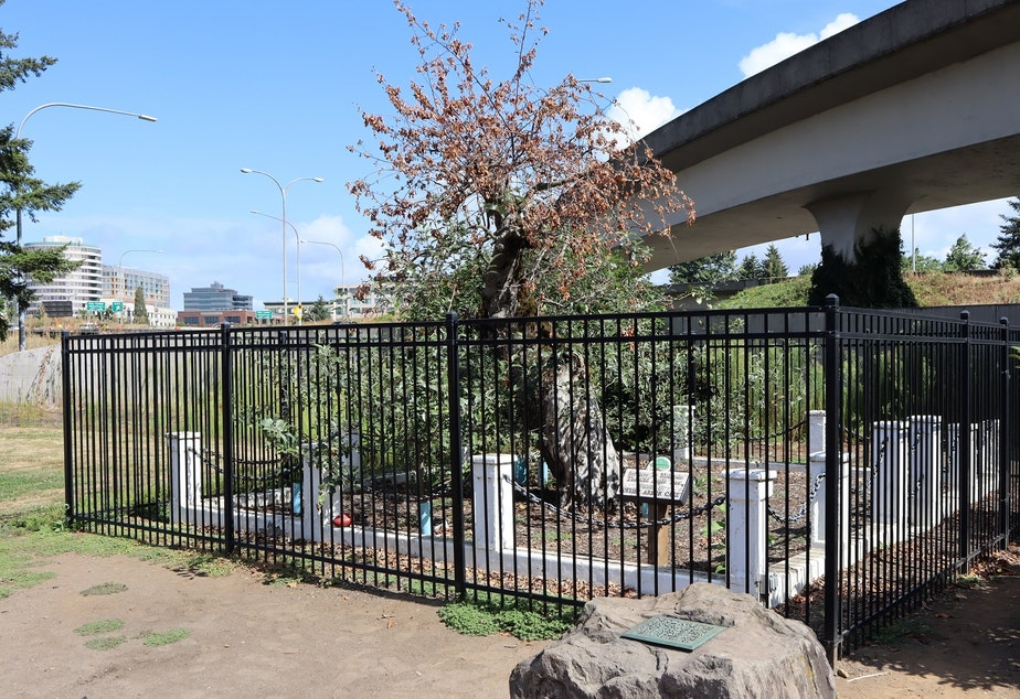 caption: The historic Old Apple Tree in Vancouver, Washington, died this summer at age 194.
