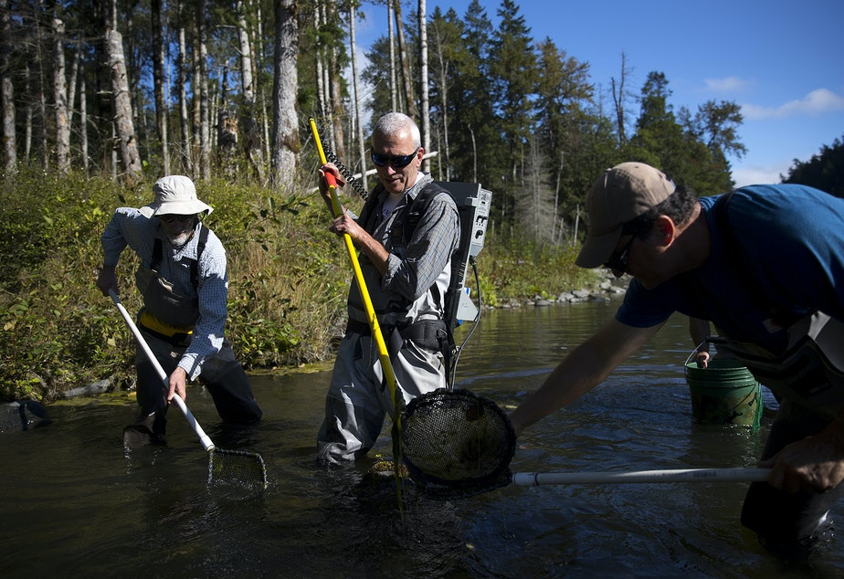 caption: From left, Martin Liermann, Michael McHenry and George Pess use an electrofisher to collect fish before measuring their length and weight on Wednesday, September 4, 2019, along the Brannon side channel of the Elwha River near Port Angeles.