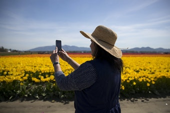 Sunny Jansma  of Seattle takes photos of rows of yellow tulips on Tuesday, April 24, 2018, at RoozenGaarde near Mount Vernon.