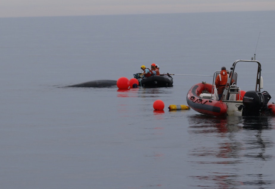 Specially trained responders cut free an entangled humpback whale off Tatoosh Island, Washington.