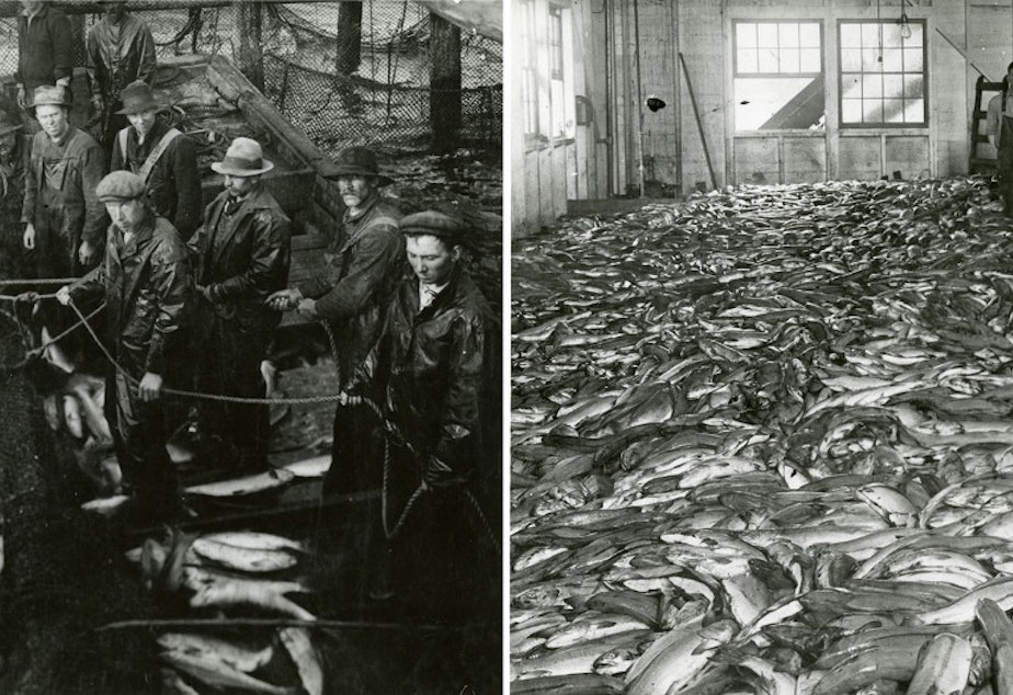 caption: Fish traps would haul in salmon by the barge-load. Whole salmon and parts discarded from the canneries were processed for fertilizer, paint and leather. Left: Lifting salmon from the fish trap, from the Carlisle Packing Co., 1917. Right: Fifty thousand sockeye salmon at the Carlisle cannery.