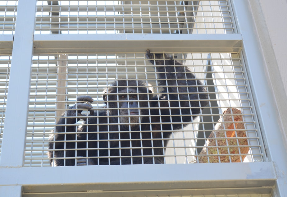 caption: Six new chimpanzees arrived at the Chimp Sanctuary Northwest, about 90 minutes from Seattle, in late June 2021.