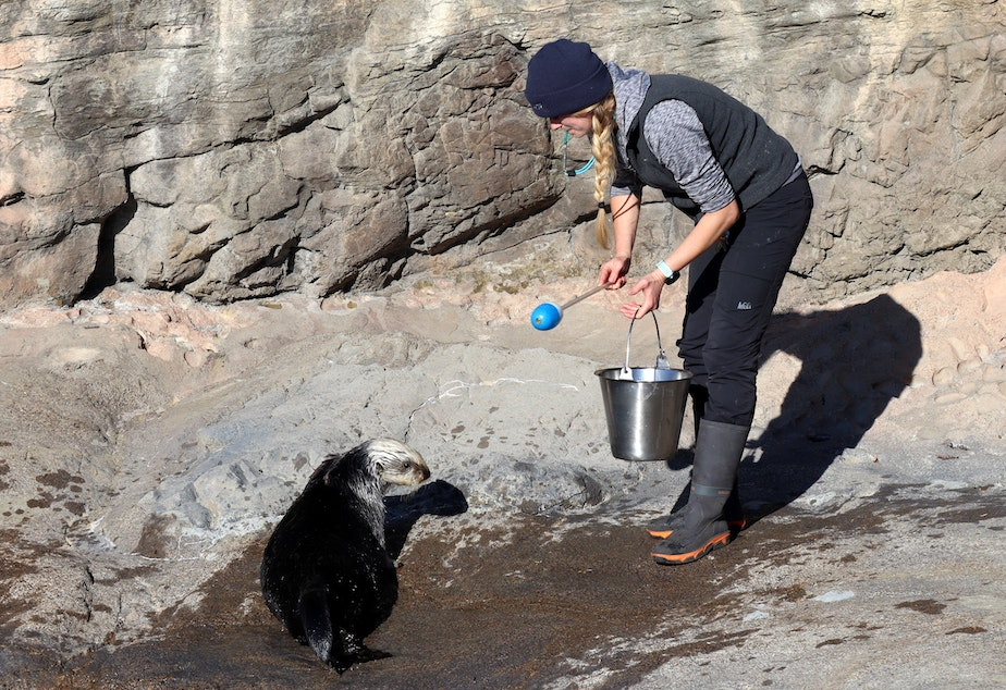 Assistant Curator of Marine Mammals Brittany Blades at the Oregon Coast Aquarium sea otter facility, which is asking donors' help to expand.