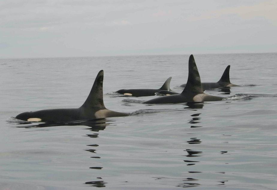 caption: Killer whales, Puget Sound