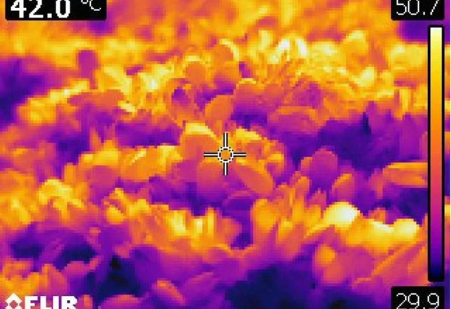 caption: A thermal image of heat-killed mussels in West Vancouver, B.C., on June 28. The color scale shows the range of temperatures (85.8F - 123.3F) captured in the image.