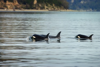Orcas in the Puget Sound.