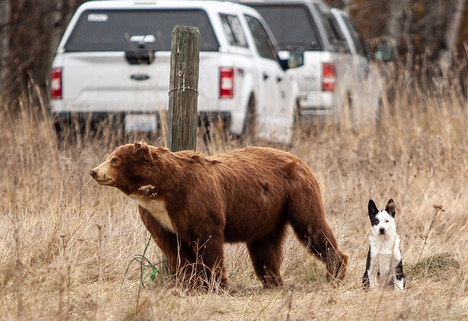 """caption: Teton, a 10-week-old Karelian bear dog, waits for his handler, Nils Pederson, at the final """"find"""" during a field-test. The """"find"""" is a taxidermied bear."""