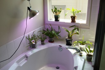 Eric Hong's assortment of orchids lit by his LED grow light.