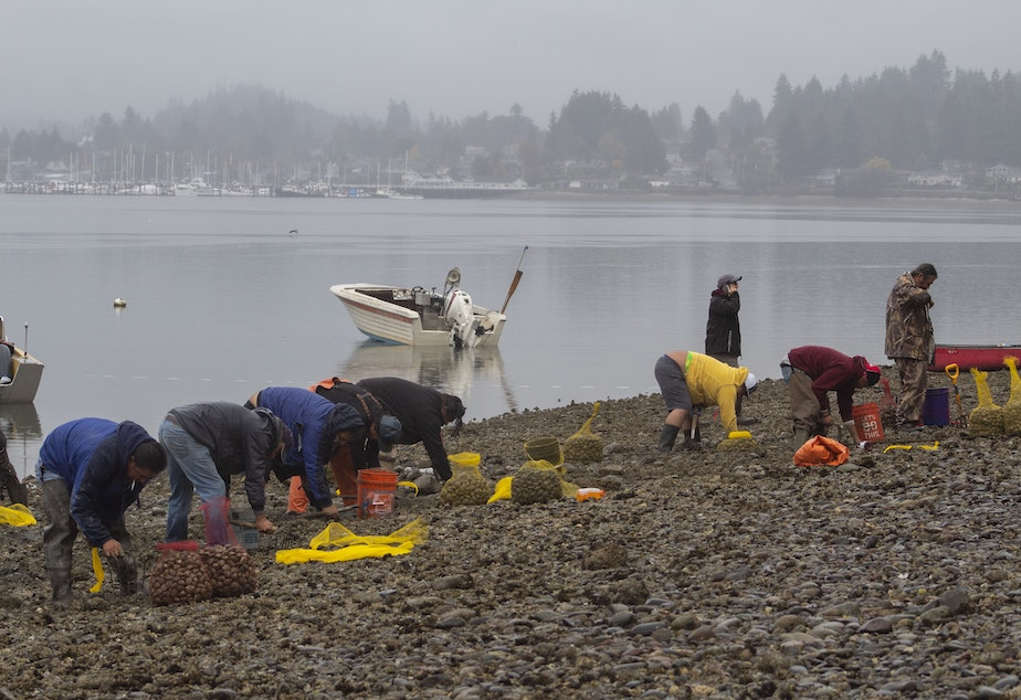caption: Suquamish tribal members harvest clams in Liberty Bay on the Kitsap Peninsula in 2018.