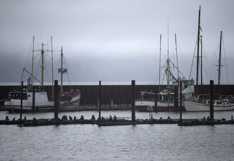 Sea lions are piled up on a dock on Thursday, April 11, 2019, near the East Mooring Basin Boat Ramp in Astoria, Oregon.