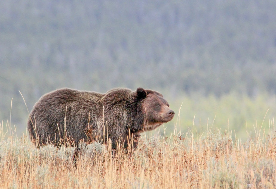Grizzly near Wapiti Lake Trail in Yellowstone National Park.