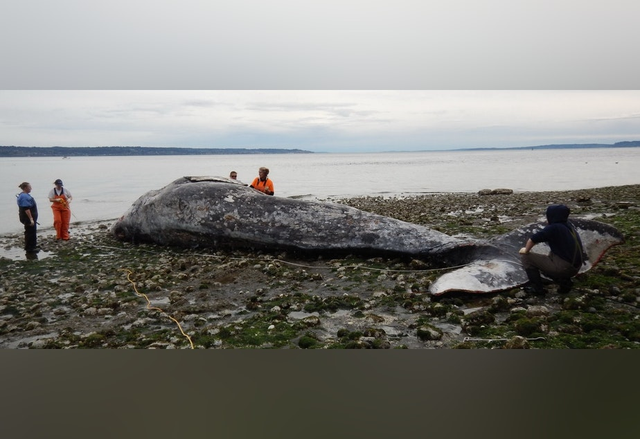 caption: Responders examine a malnourished adult gray whale on April 15, 2019 after it was towed to a remote beach after initially being found floating near downtown Seattle.