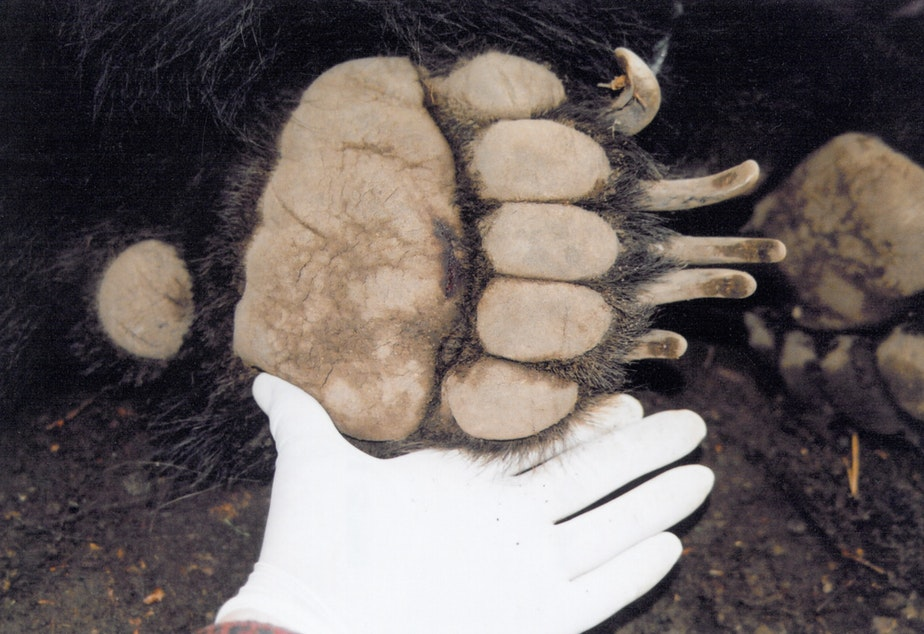 caption: Chris Morgan showing off a grizzly bear paw.