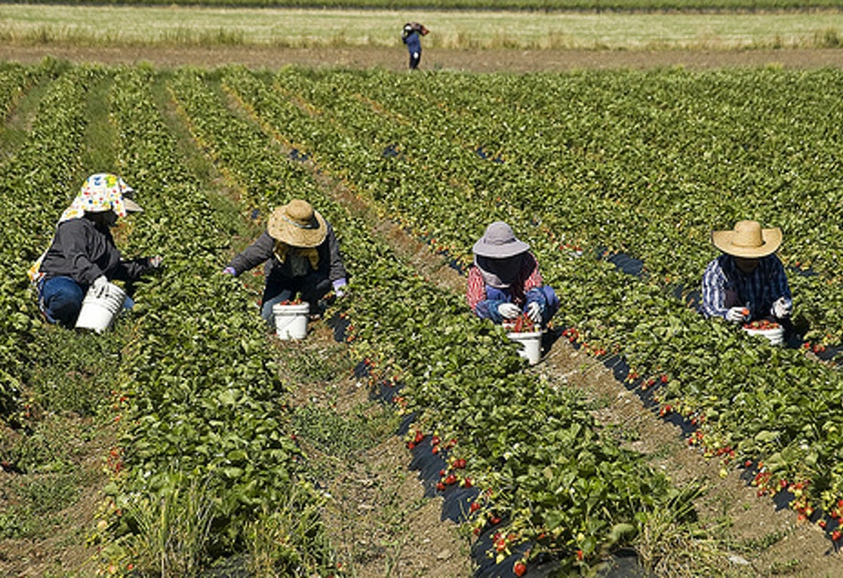 Farm workers picking strawberries.