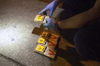 A Seattle exterminator sets traps for rats in an alley behind the University Book Store in Seattle.