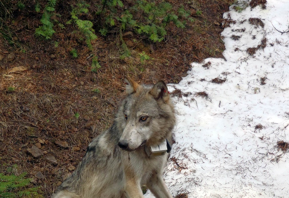 A member of the Teanaway wolf pack in Washington state. A judge in King County prevented state officials from killing the last of a wolf pack on Friday morning, hours after four of the five remaining wolves from that pack were killed by state agents.