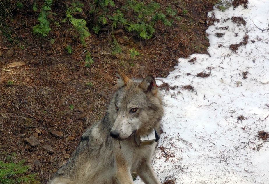 caption: A member of the Teanaway wolf pack in Washington state. A judge in King County prevented state officials from killing the last of a wolf pack on Friday morning, hours after four of the five remaining wolves from that pack were killed by state agents.