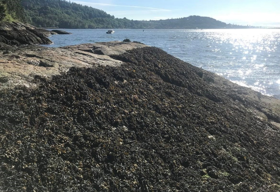 caption: BEFORE: A shoreline at Maple Beach, outside Vancouver, B.C., covered with Fucus seaweed on May 16, 2021.