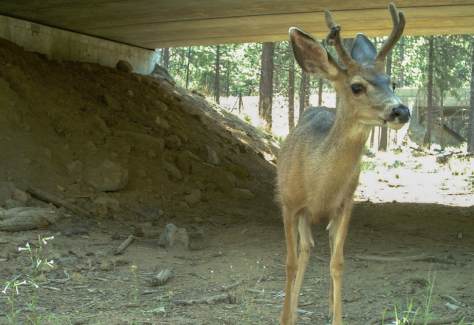 caption: File photo. A mule deer uses a wildlife underpass beneath Highway 97 in central Oregon. A new federal grant will helps western states with more crossings.