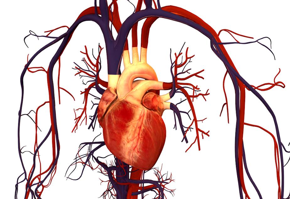 caption: Illustration of human heart and circulation.