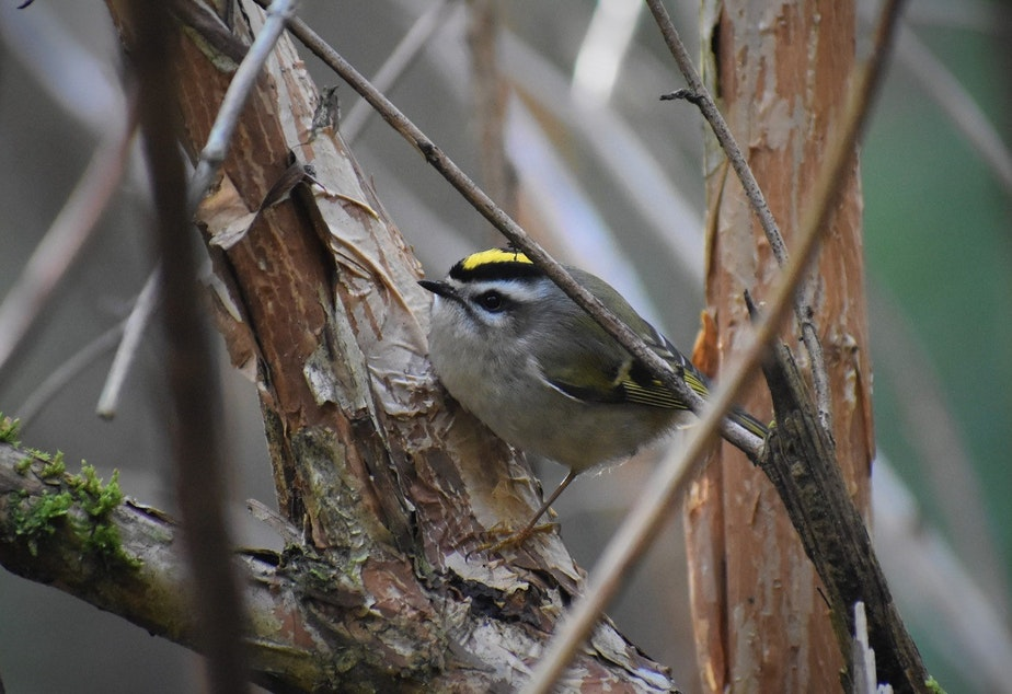 caption: Researchers want to know if birds like this Golden-crowned Kinglet will change behavior in the wake of reduced traffic and noise pollution.