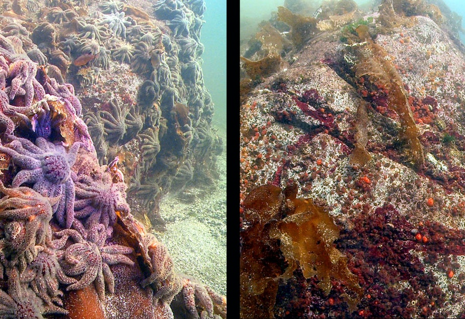 caption: Thousands of sunflower sea stars swarm a rock near Croker Island outside Vancouver, Canada, on Oct. 9, 2013. At right, the same site, three weeks later, with the sea stars vanished.